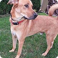 Adopt A Pet :: Ozzie - Evergreen Park, IL