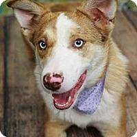 Adopt A Pet :: Lilly - Nashville, TN