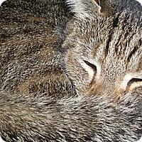 Adopt A Pet :: Pancakes - Columbia, MD