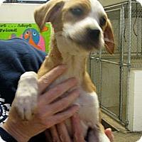 Adopt A Pet :: Dancer - Ludington, MI