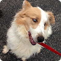 Australian Shepherd Mix Dog for adoption in Owenboro, Kentucky - FIDO!