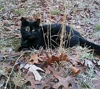 Domestic Longhair Cat for adoption in Monroe, New Jersey - Boo