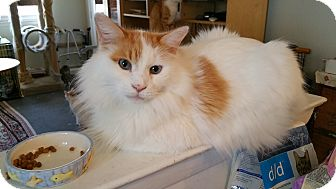 Domestic Longhair Cat for adoption in Philadelphia, Pennsylvania - Marshmallow