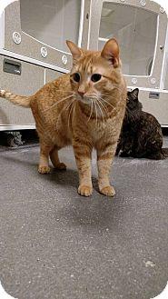 Domestic Shorthair Cat for adoption in Overland PArk, Kansas - Simba
