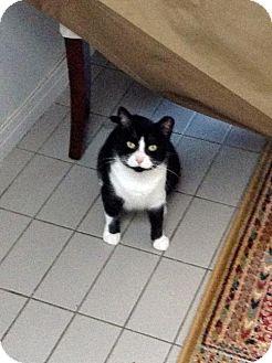 Domestic Shorthair Cat for adoption in Toronto, Ontario - Maggie