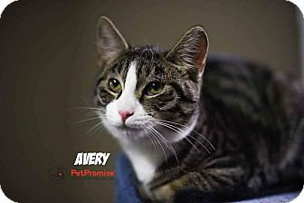 Domestic Shorthair Kitten for adoption in Columbus, Ohio - Avery