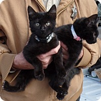 Domestic Mediumhair Kitten for adoption in Cut Bank, Montana - Callie