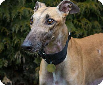Greyhound Dog for adoption in Seattle, Washington - Gilbert