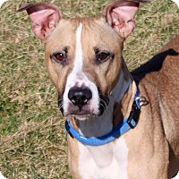 Pit Bull Terrier Mix Dog for adoption in Fort Wayne, Indiana - Bessie