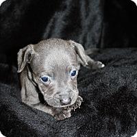 Adopt A Pet :: Jazzy - Tehachapi, CA