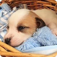 Adopt A Pet :: Zaccheus - Alpharetta, GA