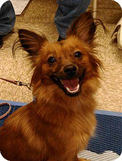 Papillon/Pomeranian Mix Dog for adoption in Scottsdale, Arizona - Sadie