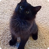 Adopt A Pet :: Raven - Modesto, CA