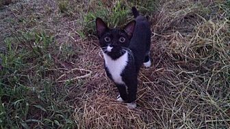 American Shorthair Kitten for adoption in Rougemont, North Carolina - Two Toes