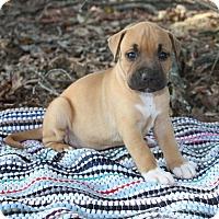 Adopt A Pet :: Shanti $250 - Seneca, SC