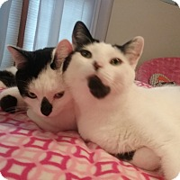 Adopt A Pet :: Pierre and Zeus (front declaw) - Sterling Hgts, MI