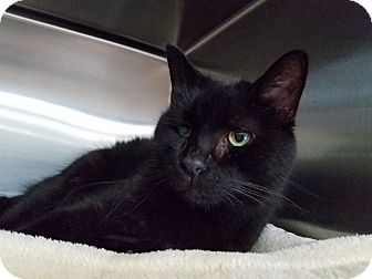 Domestic Shorthair Cat for adoption in Elyria, Ohio - Bagheera