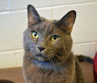 Domestic Shorthair Cat for adoption in Akron, Ohio - Zildjian