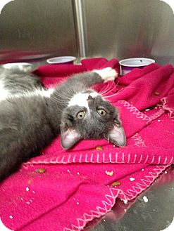 Domestic Shorthair Kitten for adoption in Covington, Kentucky - Branch
