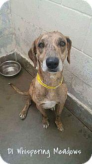 Catahoula Leopard Dog/Great Dane Mix Dog for adoption in Staunton, Virginia - Mason