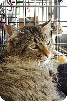 Domestic Longhair Cat for adoption in Sullivan, Missouri - Jameson