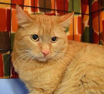 Domestic Shorthair Cat for adoption in Logan, Utah - Elsey