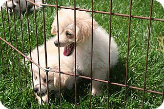 Maltese/Poodle (Miniature) Mix Puppy for adoption in Garden Grove, California - Ali