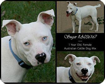 Australian Cattle Dog Mix Dog for adoption in Lufkin, Texas - Sugar