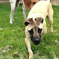 Shepherd (Unknown Type)/Terrier (Unknown Type, Medium) Mix Dog for adoption in O'Fallon, Missouri - Faye