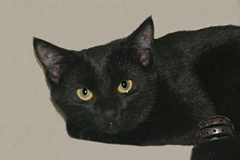 Domestic Shorthair Kitten for adoption in Hawk Point, Missouri - Jinxy