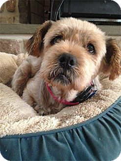 Lhasa Apso Dog for adoption in Madison, Wisconsin - Lucinda: loves Car Rides!