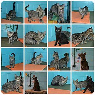 American Shorthair Kitten for adoption in Bishopville, South Carolina - Tabby Litter