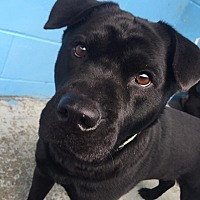 Chow Chow/Labrador Retriever Mix Dog for adoption in Joplin, Missouri - Sissy