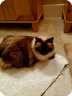 Ragdoll Cat for adoption in Richmond, Virginia - Chi Chi