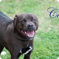Adopt A Pet :: Colt - Middleburg, FL