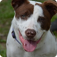 Pit Bull Terrier/Spaniel (Unknown Type) Mix Dog for adoption in Glastonbury, Connecticut - Tebow