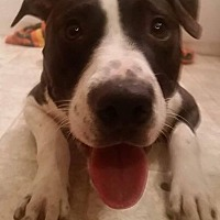 Adopt A Pet :: Perry - Livonia, MI