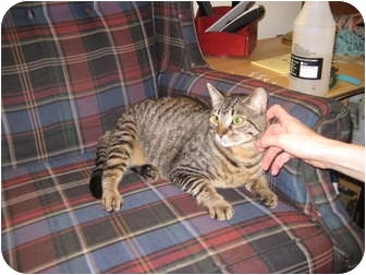 Domestic Shorthair Cat for adoption in Clay, New York - Luna(Declawed)