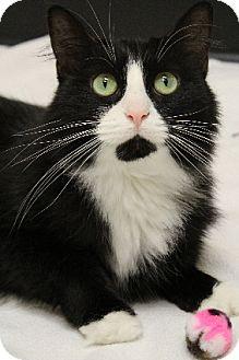 Domestic Longhair Cat for adoption in Chicago, Illinois - Tulla