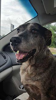Catahoula Leopard Dog/Cattle Dog Mix Dog for adoption in Metairie, Louisiana - Dutchess