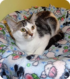 Domestic Shorthair Kitten for adoption in Tunica, Mississippi - Smores