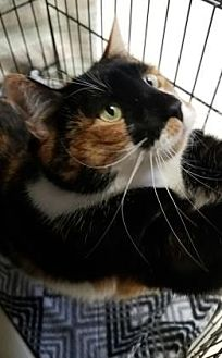 Domestic Mediumhair Cat for adoption in Lakeland, Florida - Big Momma Bella