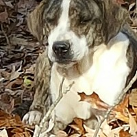 Plott Hound/Labrador Retriever Mix Dog for adoption in Baileyton, Alabama - Bridget