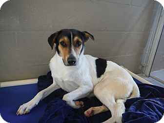 Treeing Walker Coonhound/Hound (Unknown Type) Mix Dog for adoption in Palm City, Florida - Penelope