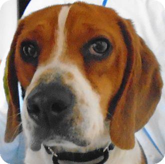 Beagle Dog for adoption in Chesterfield, Missouri - Billy Bob