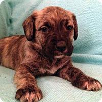 Adopt A Pet :: Cloe - San Francisco, CA