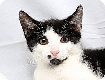 Domestic Shorthair Kitten for adoption in Yorba Linda, California - Freckles