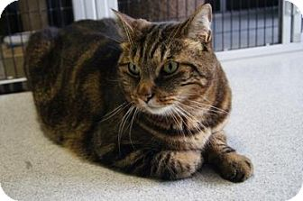 Domestic Shorthair Cat for adoption in New Milford, Connecticut - Dexter