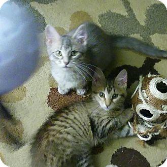 Domestic Shorthair Kitten for adoption in Centerton, Arkansas - Kate