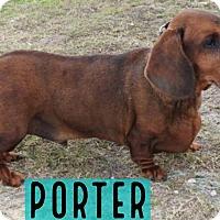Adopt A Pet :: Porter - Gainesville, FL